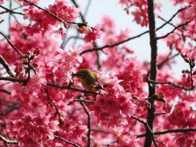 New Southbound Policy。Cherry blossoms are one of the signature blooms proving popular with visitors experiencing the sights and delights of the Yangmingshan Flower Festival Feb. 22 to March 25 in Taipei City. (Courtesy of TCG)