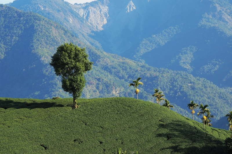 Capturing the Flavor of the Land: Ecological Sustainability in Mountain Tea Plantations Photos - New Southbound Policy