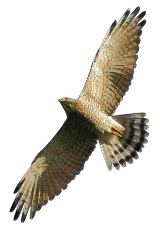 """Large numbers of gray-faced buzzards pass through Taiwan in the fall, so the species has come to be called the """"National Day bird."""" (courtesy of Lishan Eco Company)"""