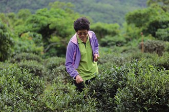 Gangkou tea, buffeted year-round by sea breezes and föhn winds, has a full-bodied flavor.