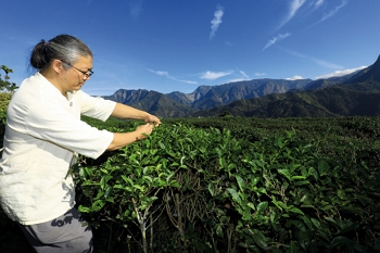 Because he avoids using chemical weedkillers, tea farmer Ye Renshou must weed by hand, taking special care to clear away rapidly spreading vines.