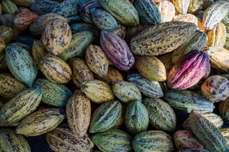 Cacao pods are freshly harvested for beans used by Fu Wan. (Photo by Chin Hung-hao)